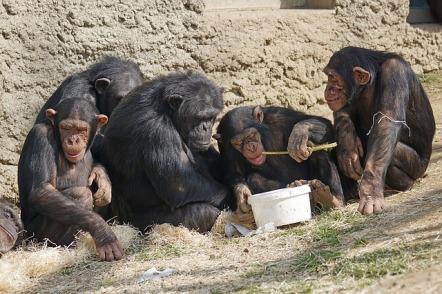 chimps-1273602_640