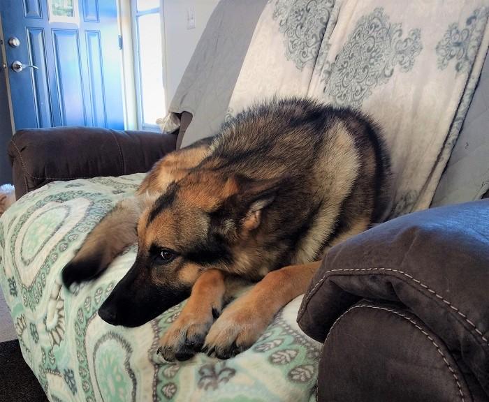 german shepherd on couch
