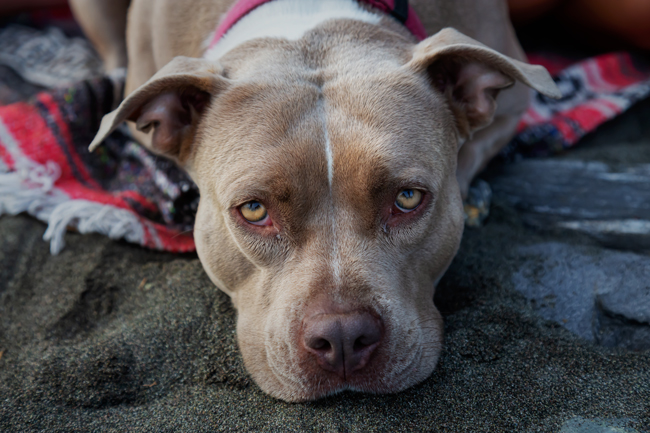 Portrait of a pit bull dog resting on a beach