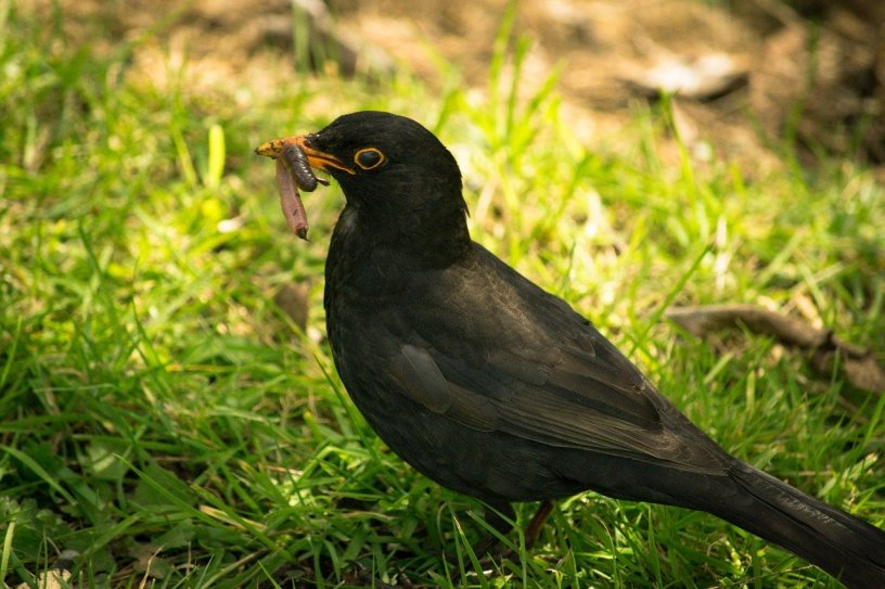 a black bird clasps a worm in its beak